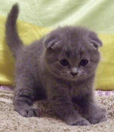 шотландская вислоухая фото котята