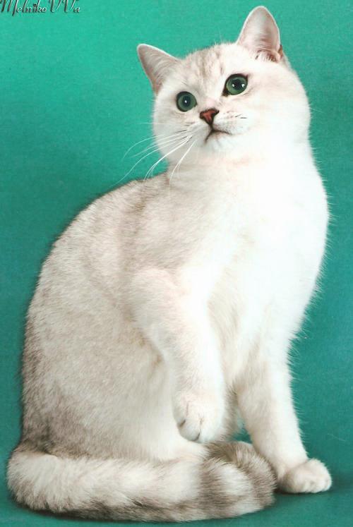 Коты шотландская шиншилла